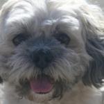 Hava Apso puppies for sale breeder Lhasa Apso Havanese mix