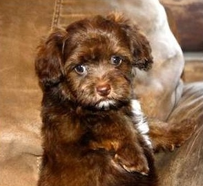 ... Shih Poo Puppies For Sale - Sunny Day PuppiesSunny Day Puppies