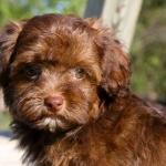 Brown Yorkie Poo Puppies Yorkie-dog-wal