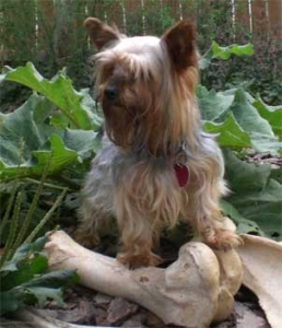 "Champion Yorkshire Terrier ""Cartier"""