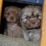 HavaPoo & YorkiPoo puppies
