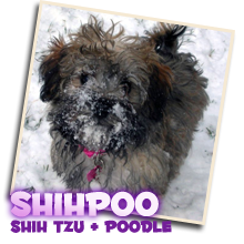 Shihpoo Puppies Sunny Day Puppies
