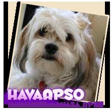 Hava Apso puppies for sale