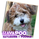 Hava Poo puppies for sale