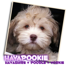 Sunny Day Puppies Puppies For Sale Havapoo Puppies Havanese