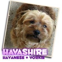 Havashire puppies for sale