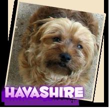 Havashire puppies for sale