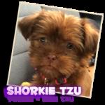 shorkie-tzu