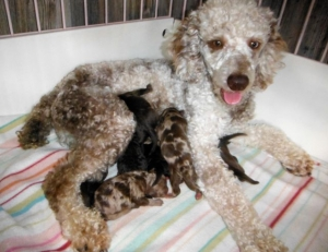 Mini Poodle Pajamas with her 9 Newborn ShihPoo puppies!
