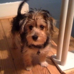 Havashire Puppies for sale Havanese Yorkie mix breed