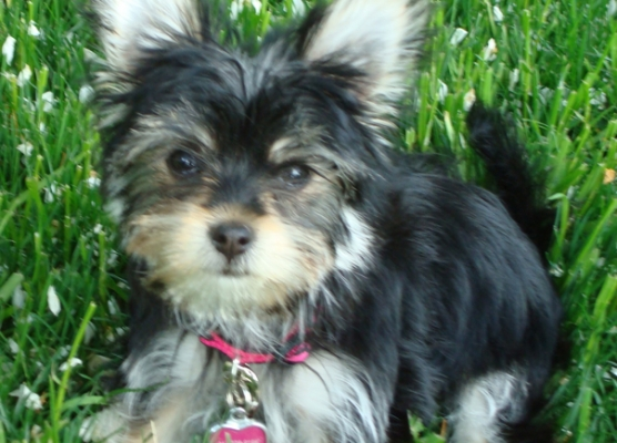 Havashire Puppy for sale havanese yorkie yorkshire terrier  mix breed designer dog