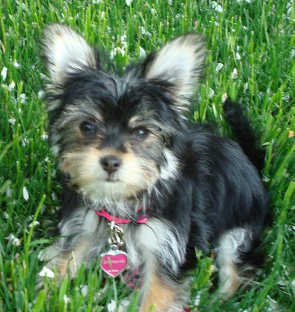 Havashire Dog Breed