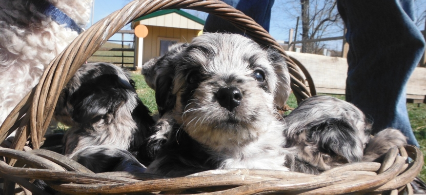 Sunny Day Puppies | Puppies for Sale! Yorkshire Terrier, Shih Tzu