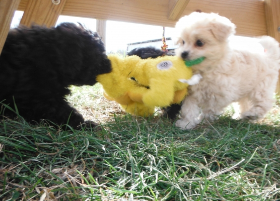 Sparkle's Shih Poo Puppies for Sale - Sunny Day PuppiesSunny Day ...