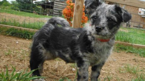 PolkaDotted YorkiPoo Pups Playing Today!