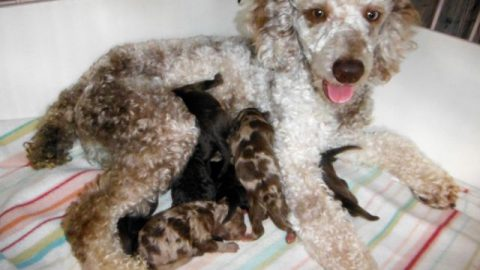 Pajamas had NINE ShihPoo puppies!!! WoW!!