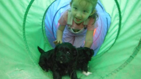 Playing with the YorkiPoo Puppies