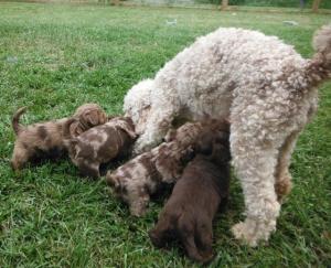 Pajamas' ShihPoo puppies