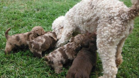 Pajamas looking after her little ShihPoo Puppies