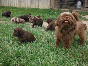 Milo Baby-sitting his ShihPoo Puppies