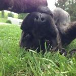 """Mastiff puppy """"LolliPop"""" Playing Dead?"""