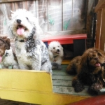 Dogs For Sale At Sunny Day Puppies