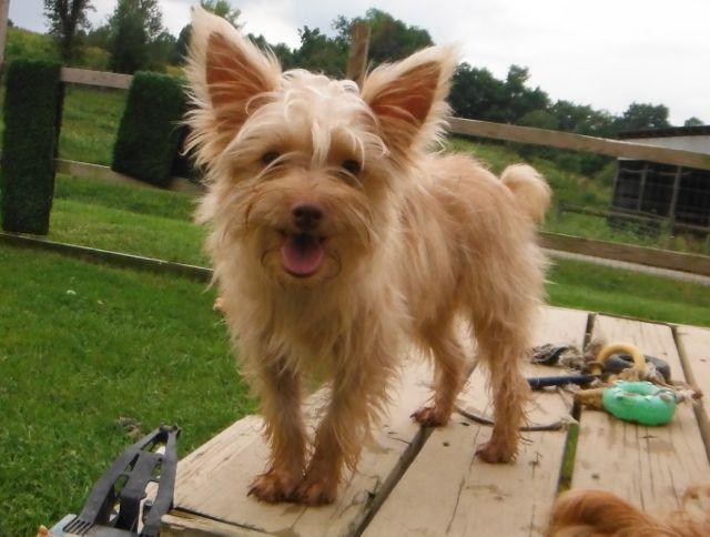 Golden Blonde Yorkshire Terrier