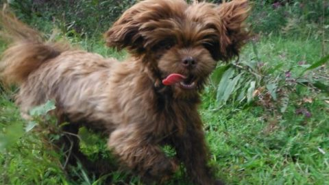 "Introducing our Chocolate ShihTzu ""SDP Ragga Moppin""!"