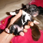 TEN ShiApso Puppies From Sunny Day Puppies