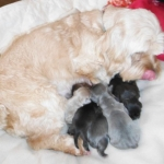 ShihApso puppies for sale Shih Tzu Lhasa Apso mix breed
