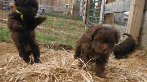 Splash's Chocolate ShihPoo Puppies – SO silly!!