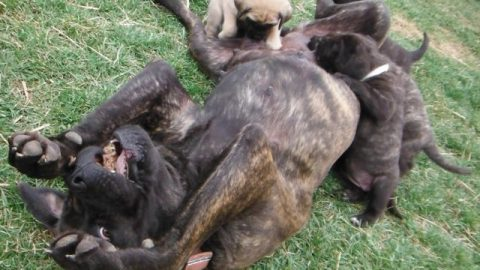 LolliPop's Old English Mastiff Pups at 6 Weeks!