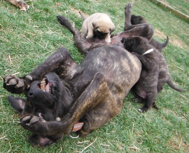 Old English Mastiff Puppies for sale breeder