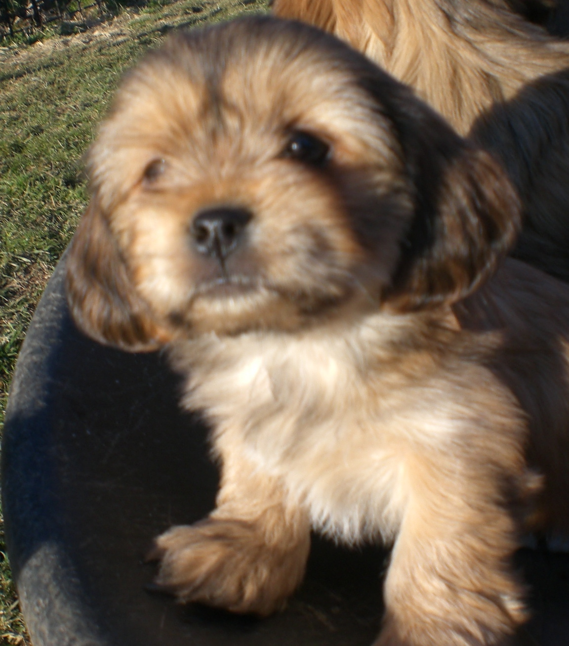 Yorkiapso Puppies For Breeder Yorkshire Terrier Mix Lhasa Apso
