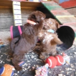 Chocolate brown Shorkie Tzu puppies for sale shih tzu yorkie yorkshire terrier puppy breeder