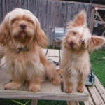 Gold blonde Yorkshire Terrier puppies for sale