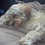 Havanese Lhasa Apso mix breed for sale breeder