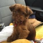 Chocolate Shorkie Tzu puppies for sale breeder