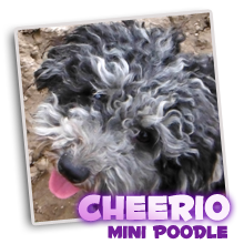 Blue merle toy poodle yorkipoo puppies for sale breeder