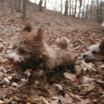 Havanese Havashire HavaPoo HavaApso puppies for sale
