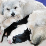 YorkiApso puppies for sale Yorkshire terrier mix lhasa apso breeder