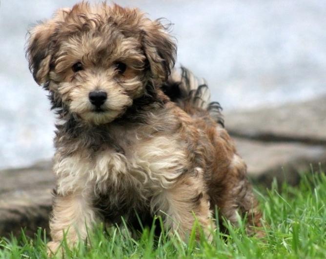 Havanese Dog Breeders Uk