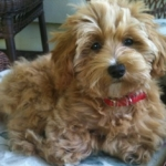 HavaPoo (Havanese/Poodle)