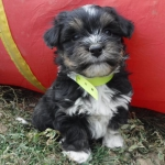 Havanese Poodle mix (HavaPoo / HavaNoodle) puppies for sale
