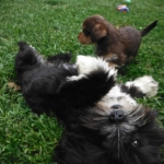 Lhasa Apso Havanese mix breed HavaApso Puppies for Sale Ohio Breeder