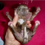 Poodle Havanese Yorkshire terrier puppies for sale