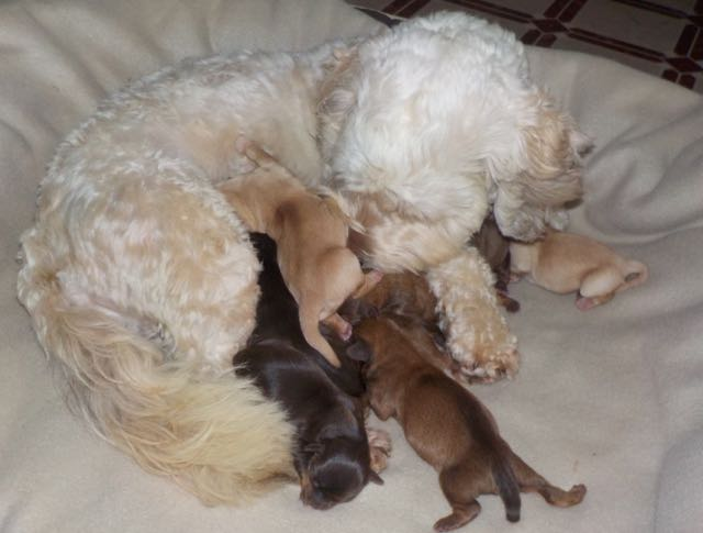"Lily with her 9 Newborn ""Sunshine"" puppies!"