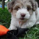 Havanese / Poodle / Yorkie Puppy Breeder