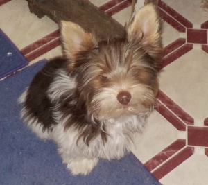 Chocolate Parti Yorkshire Terrier