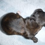 YorkiPoo puppies for sale breeder in ohio